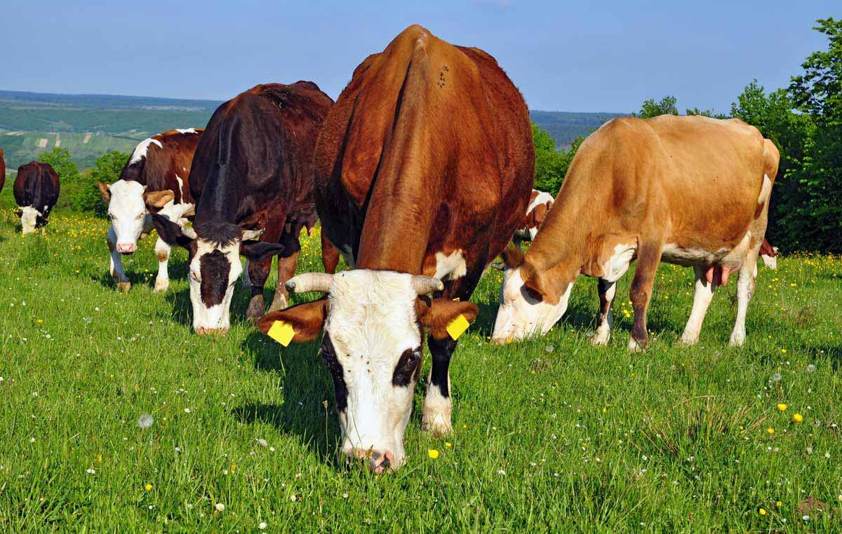 Krave paša